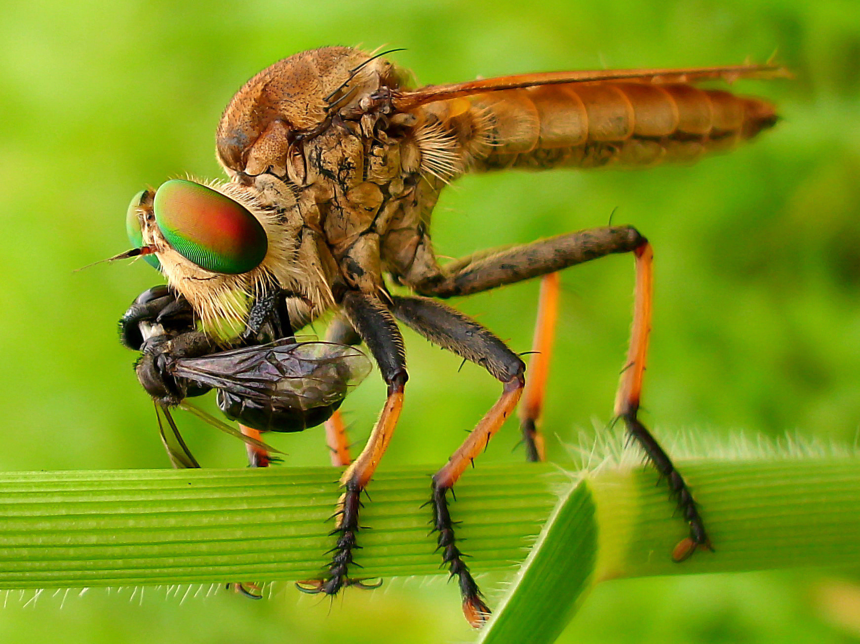 Photograph Robberfly by Iwan Ramawan on 500px