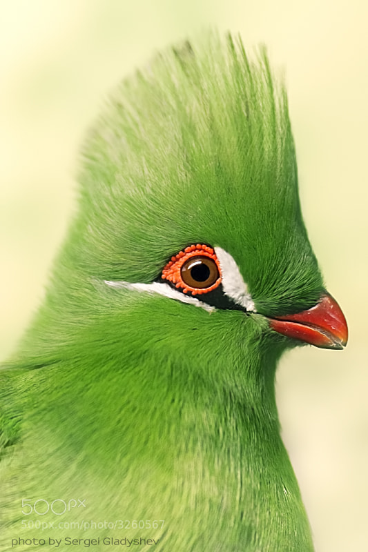 Photograph Guinean turaco 2 by sergei gladyshev on 500px