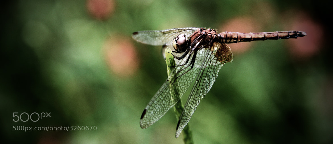 Photograph Dragonfly by Joel Lee on 500px