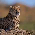 Cheetah on Watch.