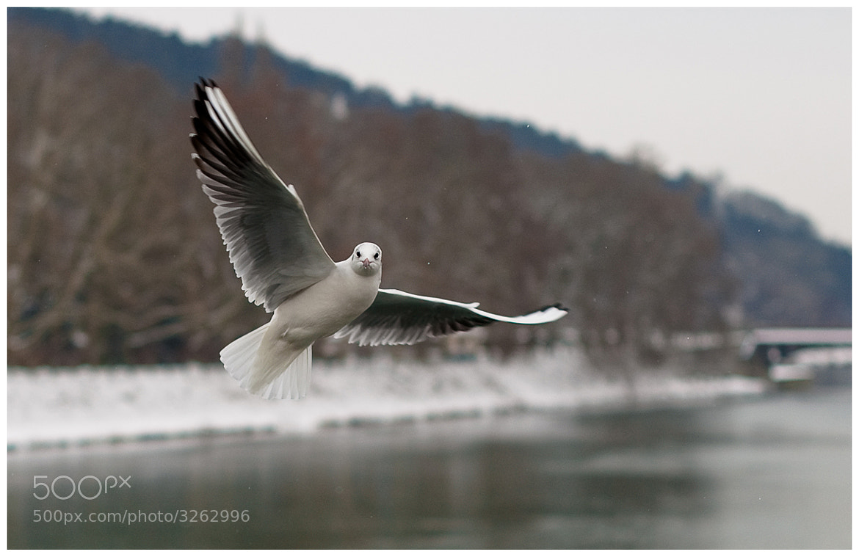 Photograph seagull jonathan livingston by Peter Kucerka on 500px