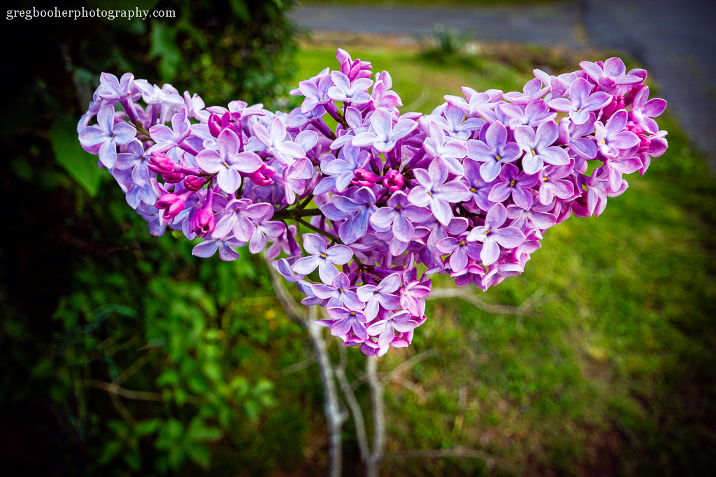Photograph Lilac by Greg Booher on 500px