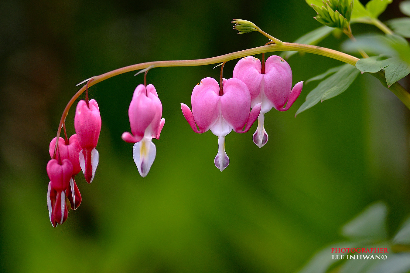Photograph Bleeding hearts by LEE INHWAN on 500px