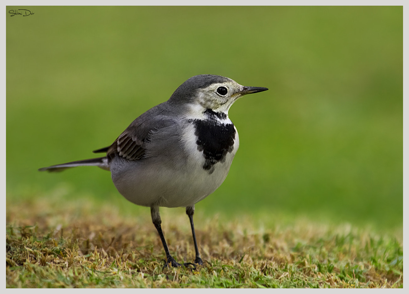 Photograph White Wagtail by shlomi dvir on 500px