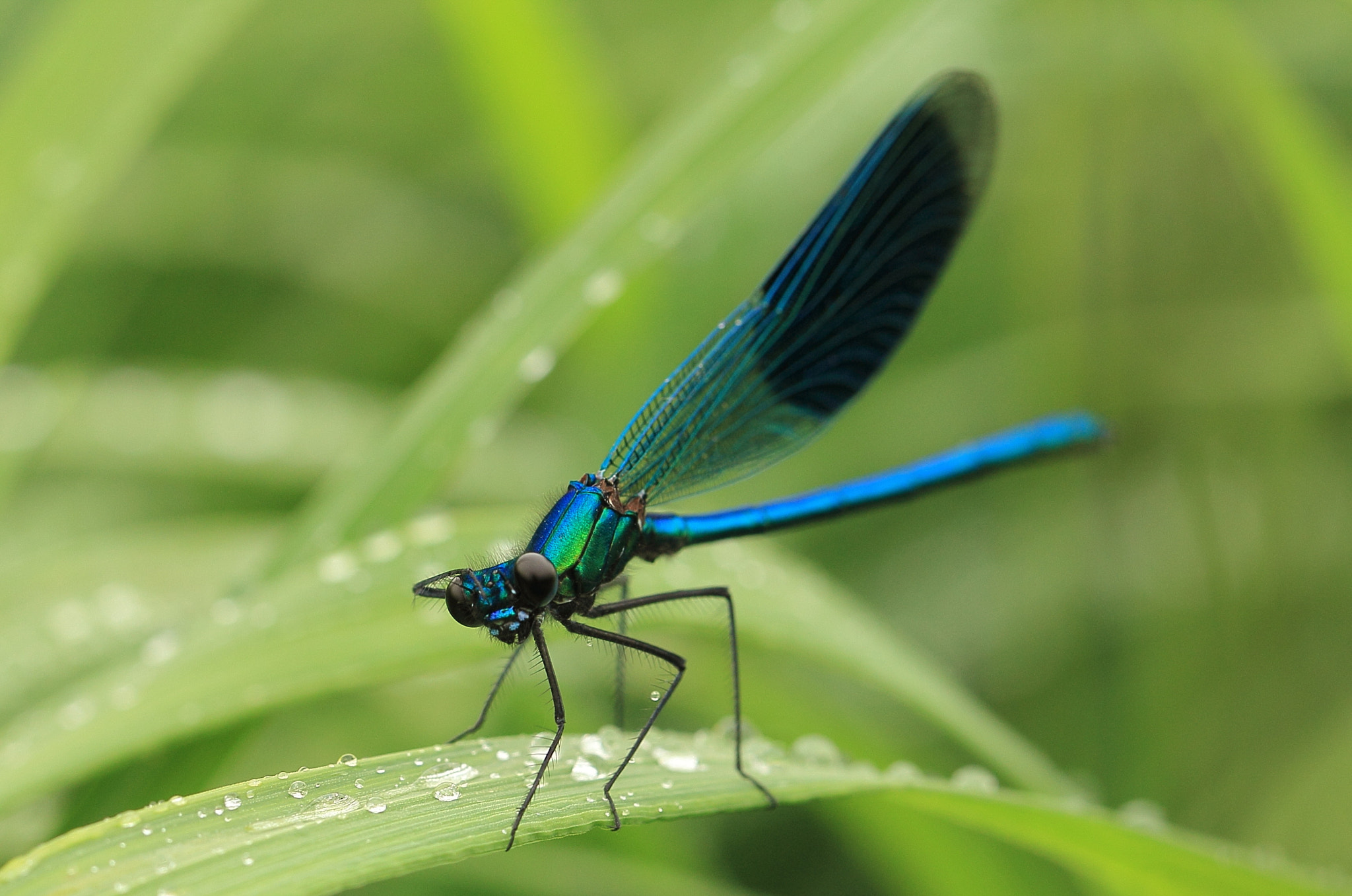 Photograph Banded Demoiselle by Eva Lechner on 500px