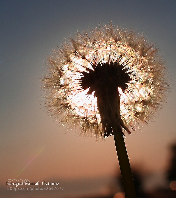 Photograph Dandelion by Mustafa Öztemiz on 500px