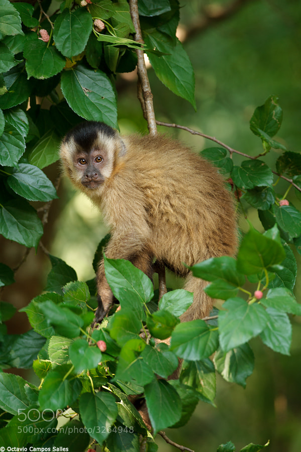 gallery for gt black striped capuchin