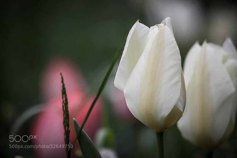 Tulipes printanières  by Thomas C (thomascphotos)) on 500px.com