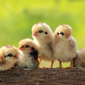 Group Portrait of Babies Chicken
