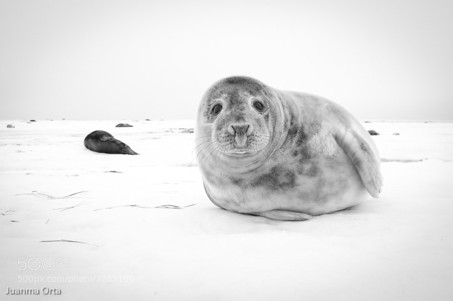 Photograph Grey seal pup by Juanma Orta on 500px