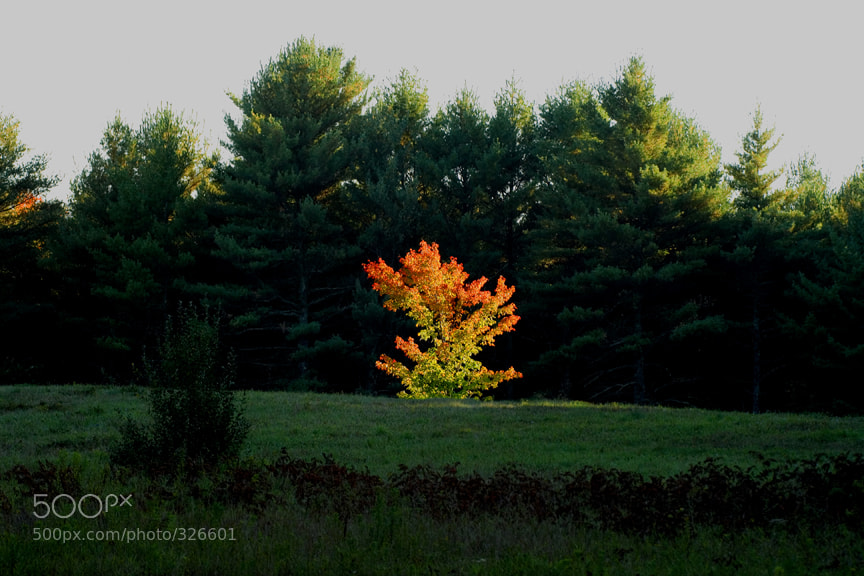 Photograph The Blazing Tree by Larry Landolfi on 500px
