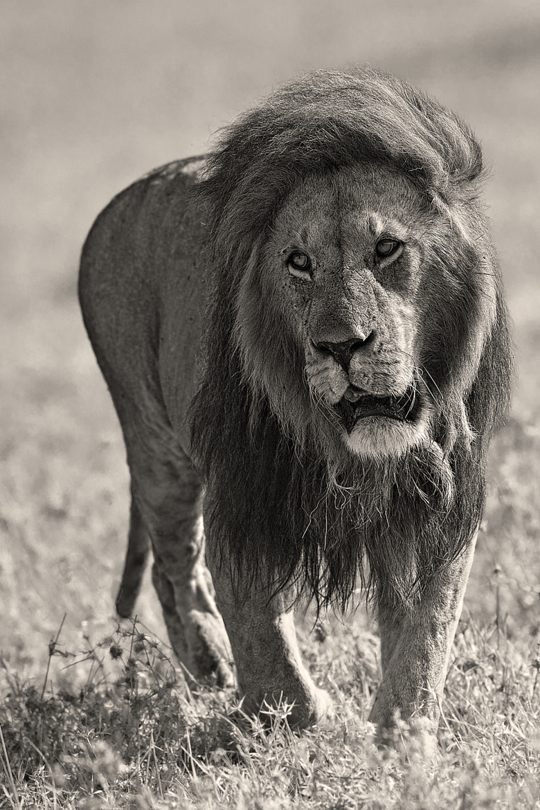 Photograph Notch- King of the Mara by Marc MOL on 500px