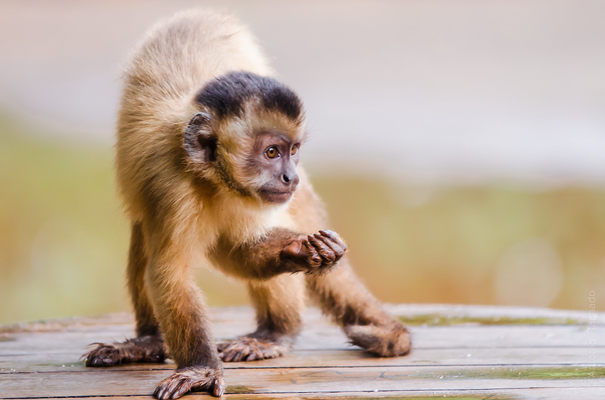 Photograph Monkey posing to my lens! by Antonio Machado on 500px