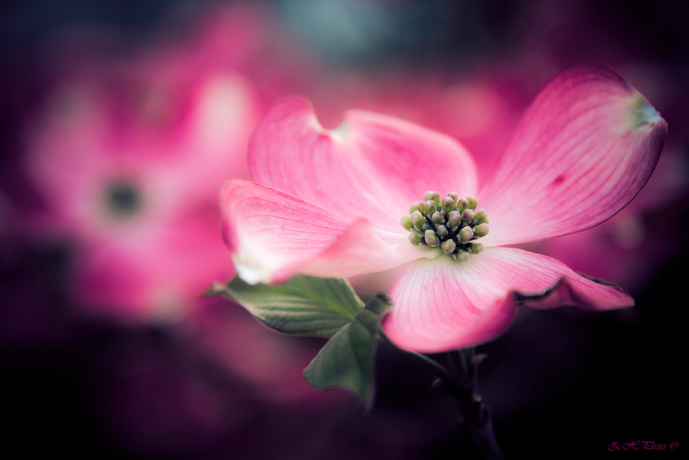 Photograph Gentle pink spring by Zdravko  Horvat on 500px