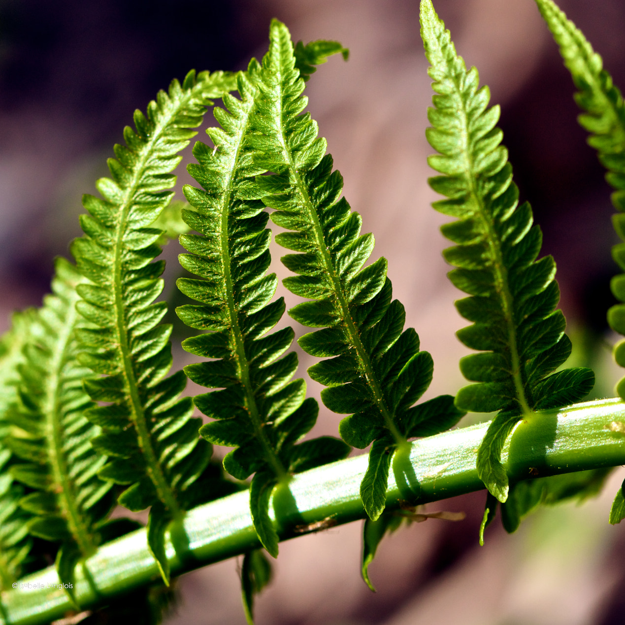 Photograph Fern close-up by Isabelle Langlois on 500px