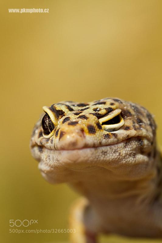 Photograph Leopard Gecko by Peter Krejzl on 500px