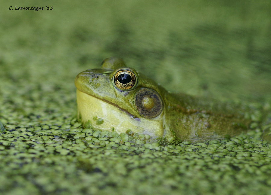 Green Frog in the duck weed. Niagara area, Ontario Canada.
