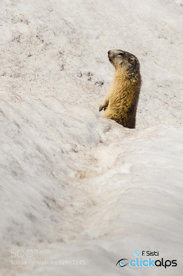 Photograph Peut-être... le printemps arrive? - Marmotta - Marmota marmota (Valle di Champorcher, Valle d'Aosta) by Francesco Sisti on 500px