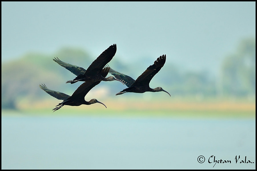 Photograph Glossy Ibis by chetan vala on 500px