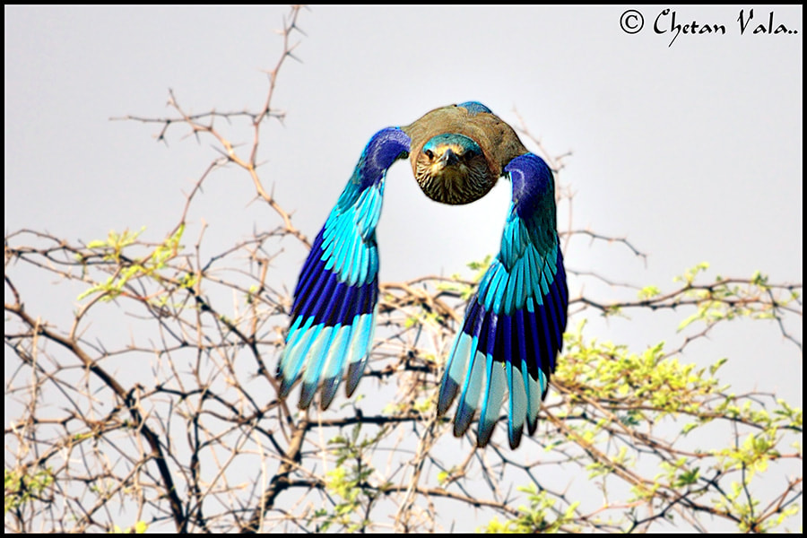 Photograph Indian Roller Flight by chetan vala on 500px