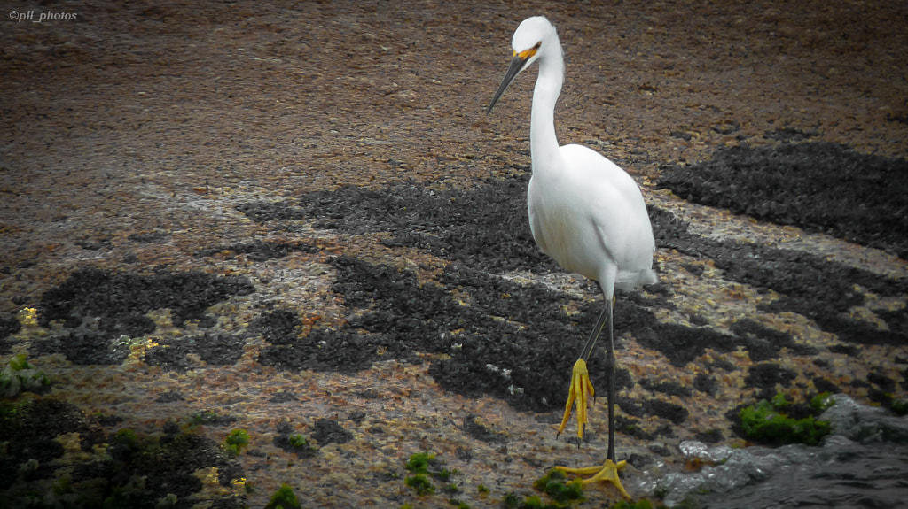 Photograph White egret! by Paulo Luft on 500px