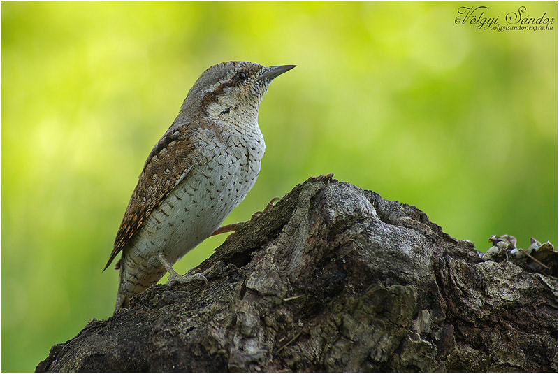 Photograph  Eurasian Wryneck by Sándor Völgyi on 500px