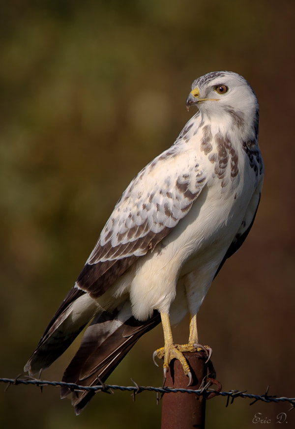 Photograph White Buteo by Eric D on 500px