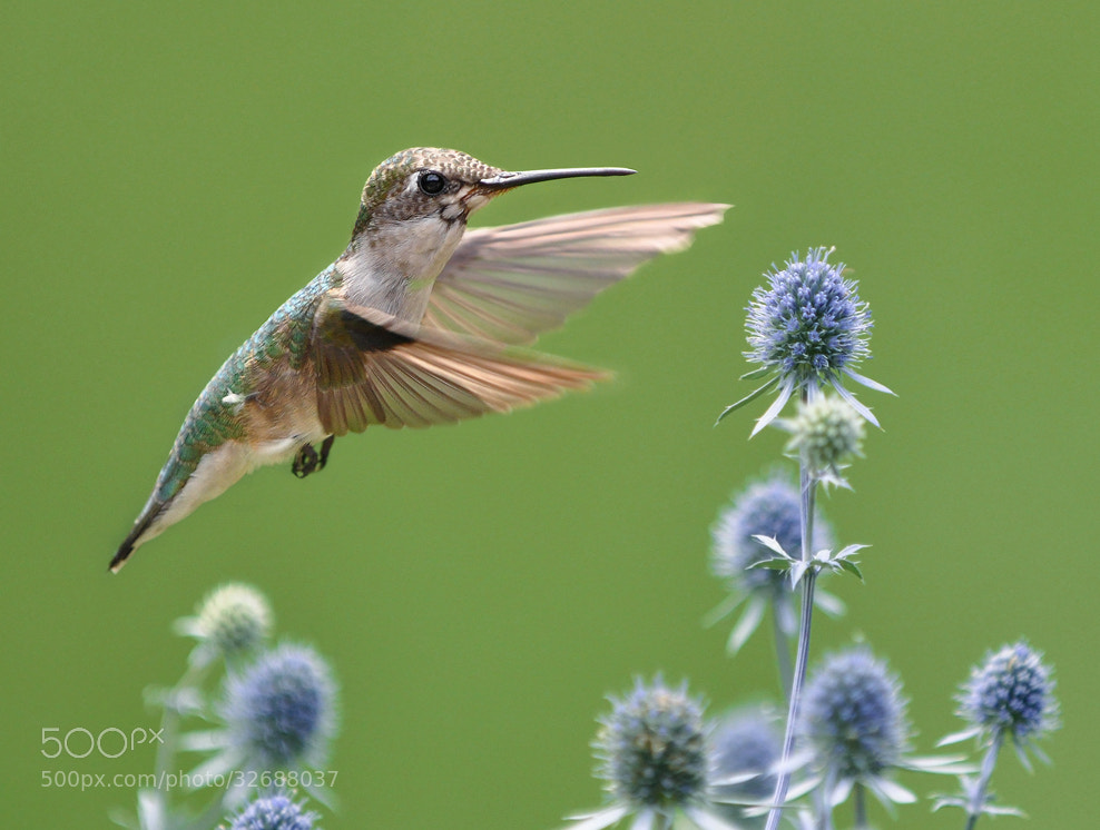 Photograph Colibri by Olga Titova on 500px