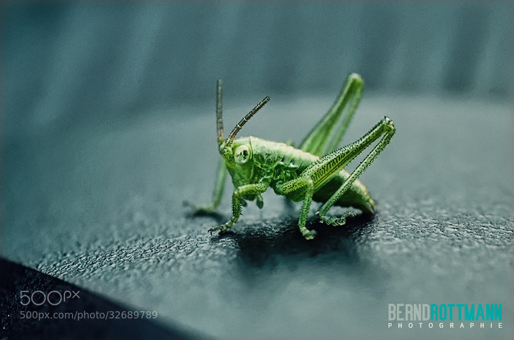 Photograph Grasshopper named Balotti ;-) by Bernd Rottmann on 500px