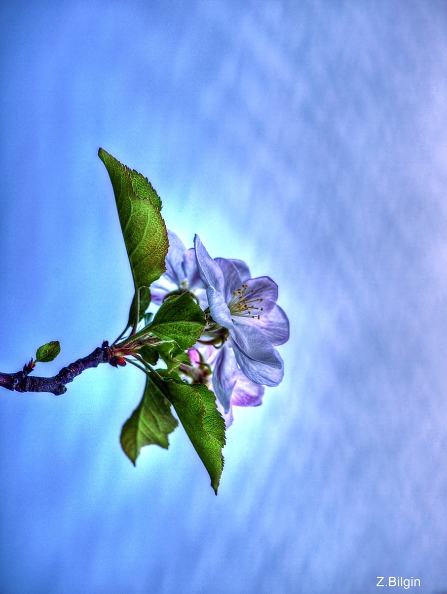 Photograph Apple Blossom by Zeki Bilgin on 500px