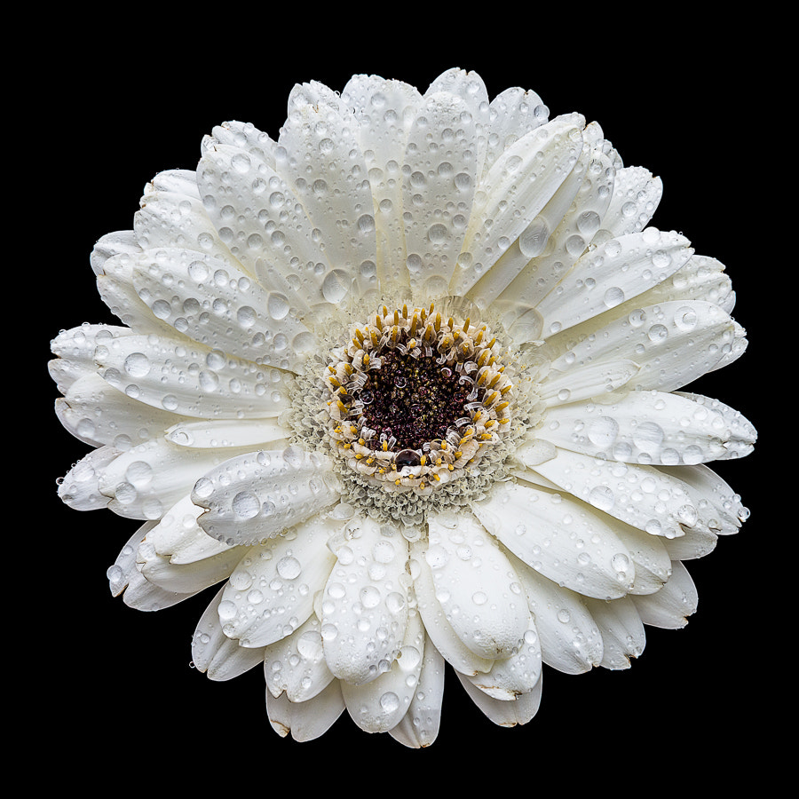 Photograph Daisy by Steven Put on 500px