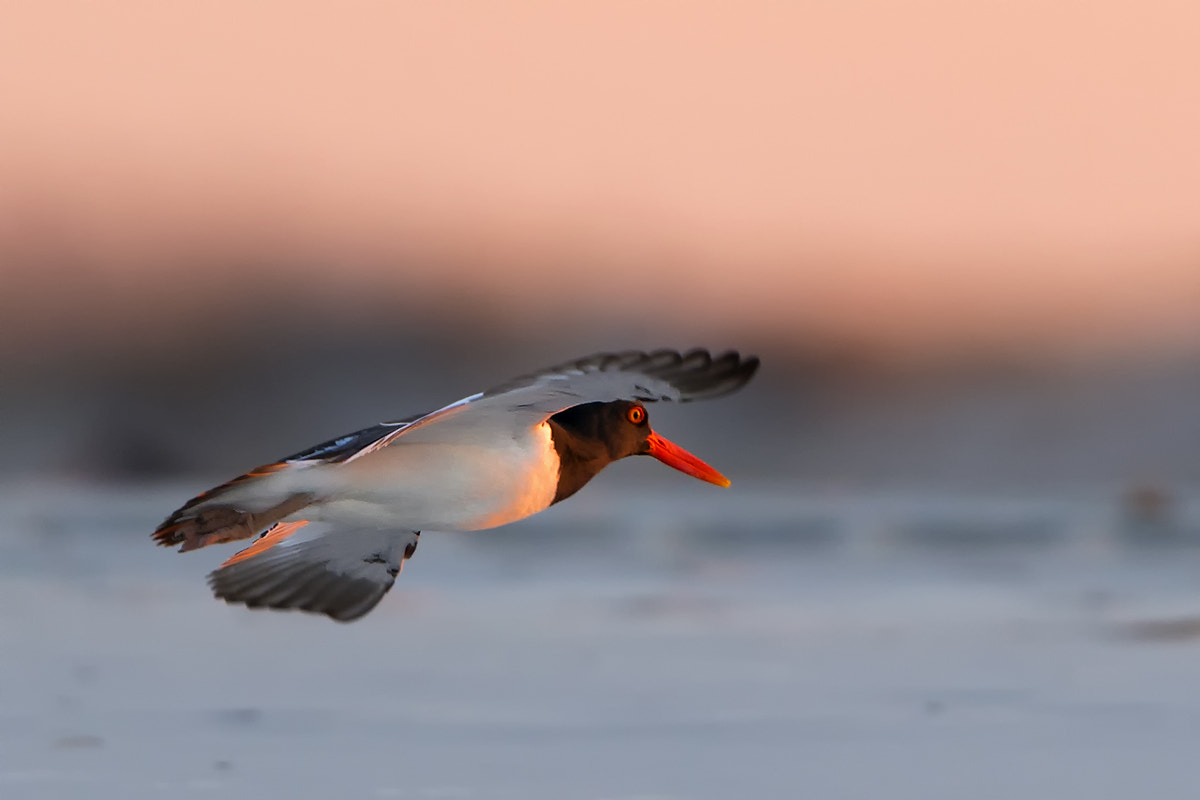 Photograph Oyster catcher by Darek Siusta on 500px