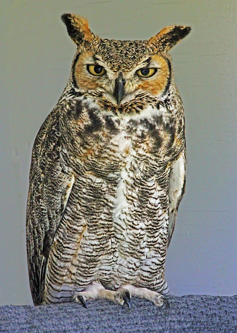 Photograph Great Horned Owl II by Bill McCormack on 500px