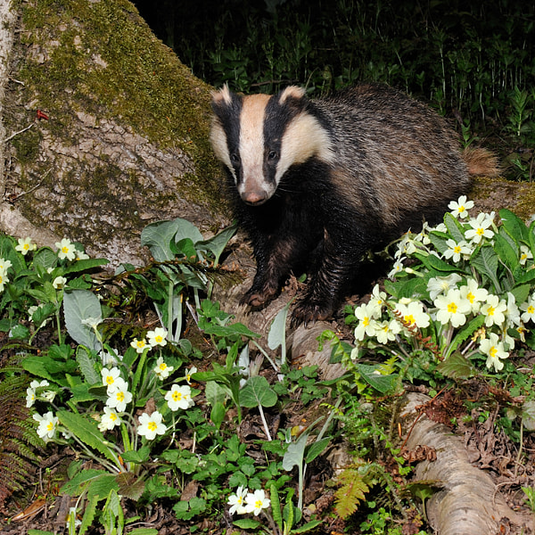 Badger in Primroses ( Meles meles )