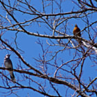 American Robin and Bluejay