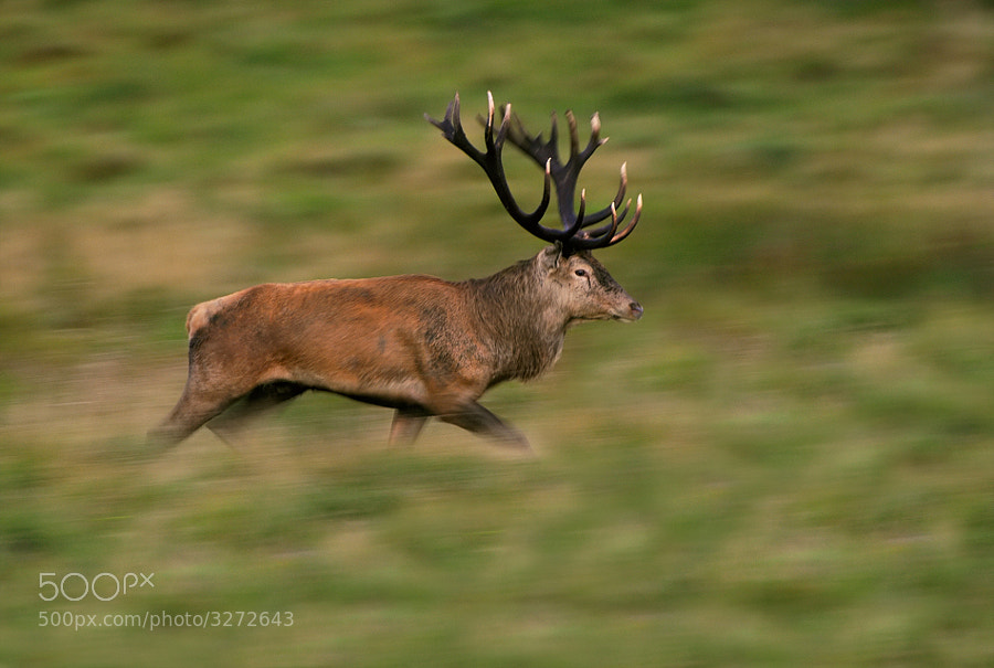 Shot of this Red Deer stag on the run taken at Jægersborg Deer Park on Zealand Island in Denmark.