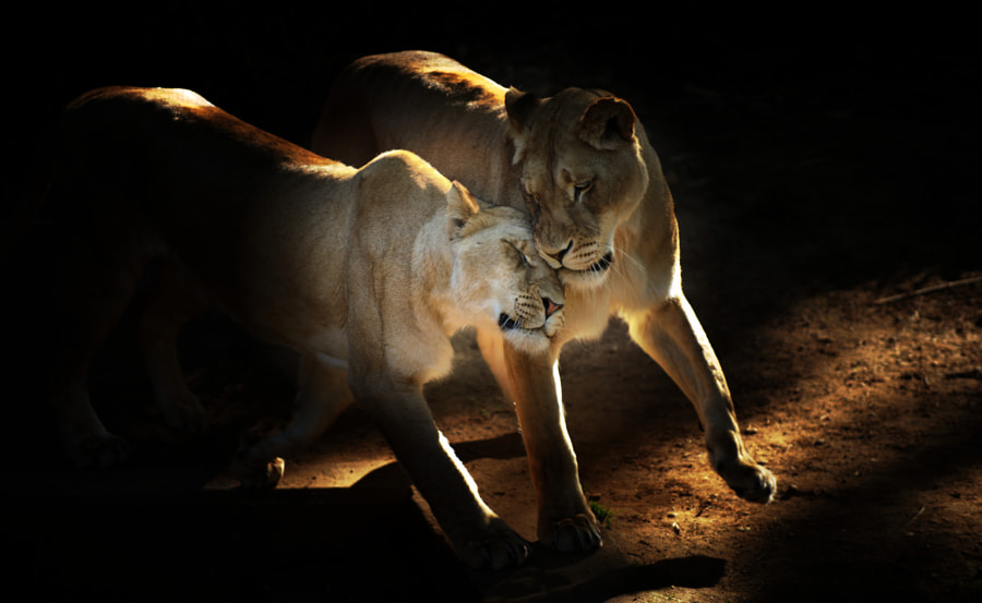 An affectionate moment captured between two lionesses.