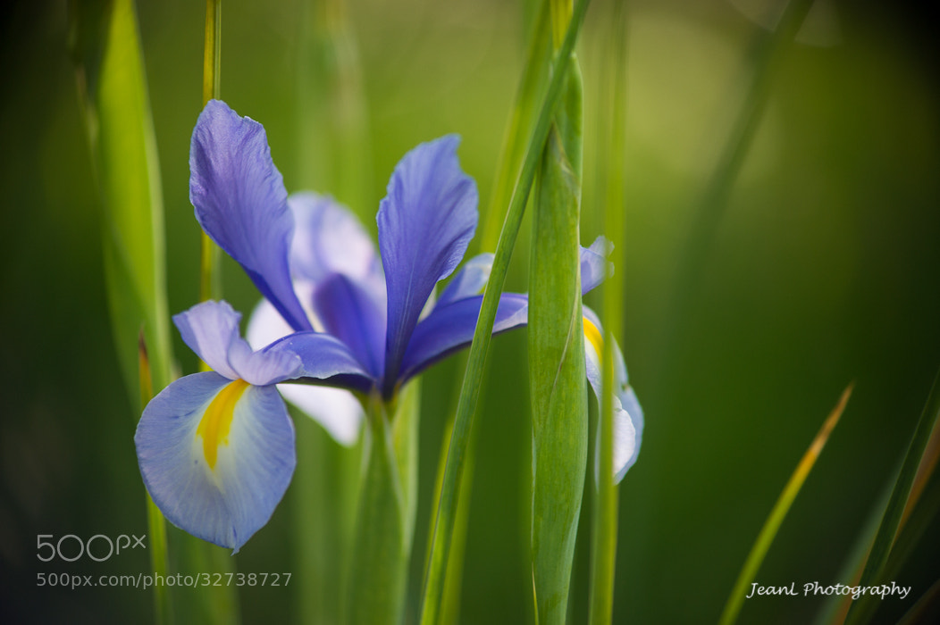 Photograph Iris by Jean Li on 500px