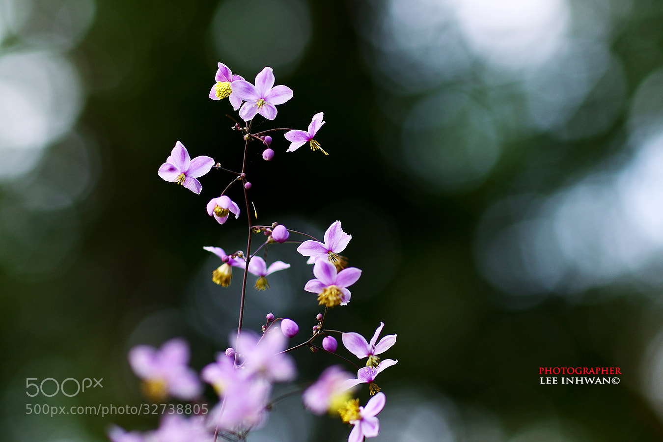 Photograph Thalictrum rochebrunianum   by LEE INHWAN on 500px