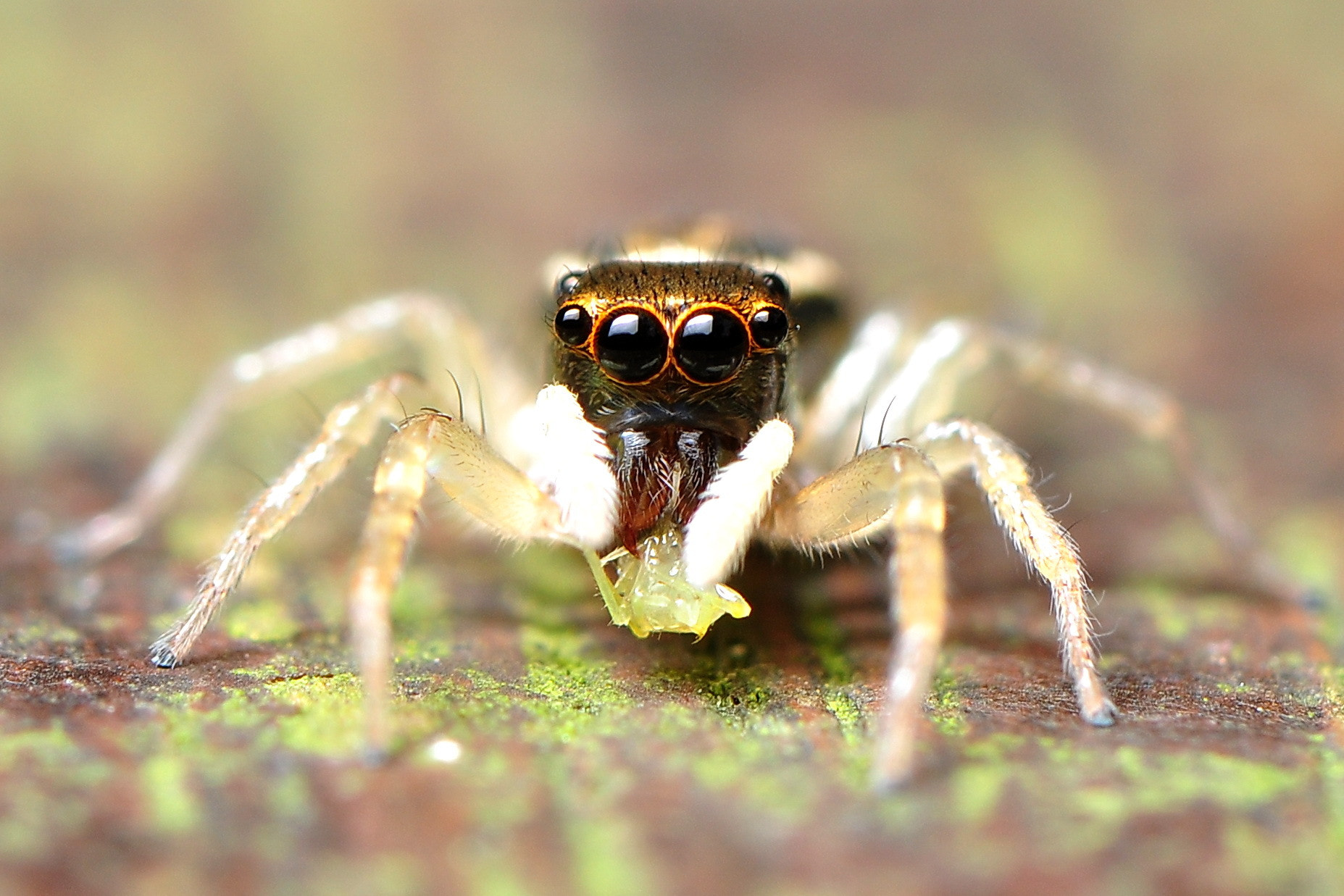 Photograph Jumping Spider by chen kuntsan on 500px