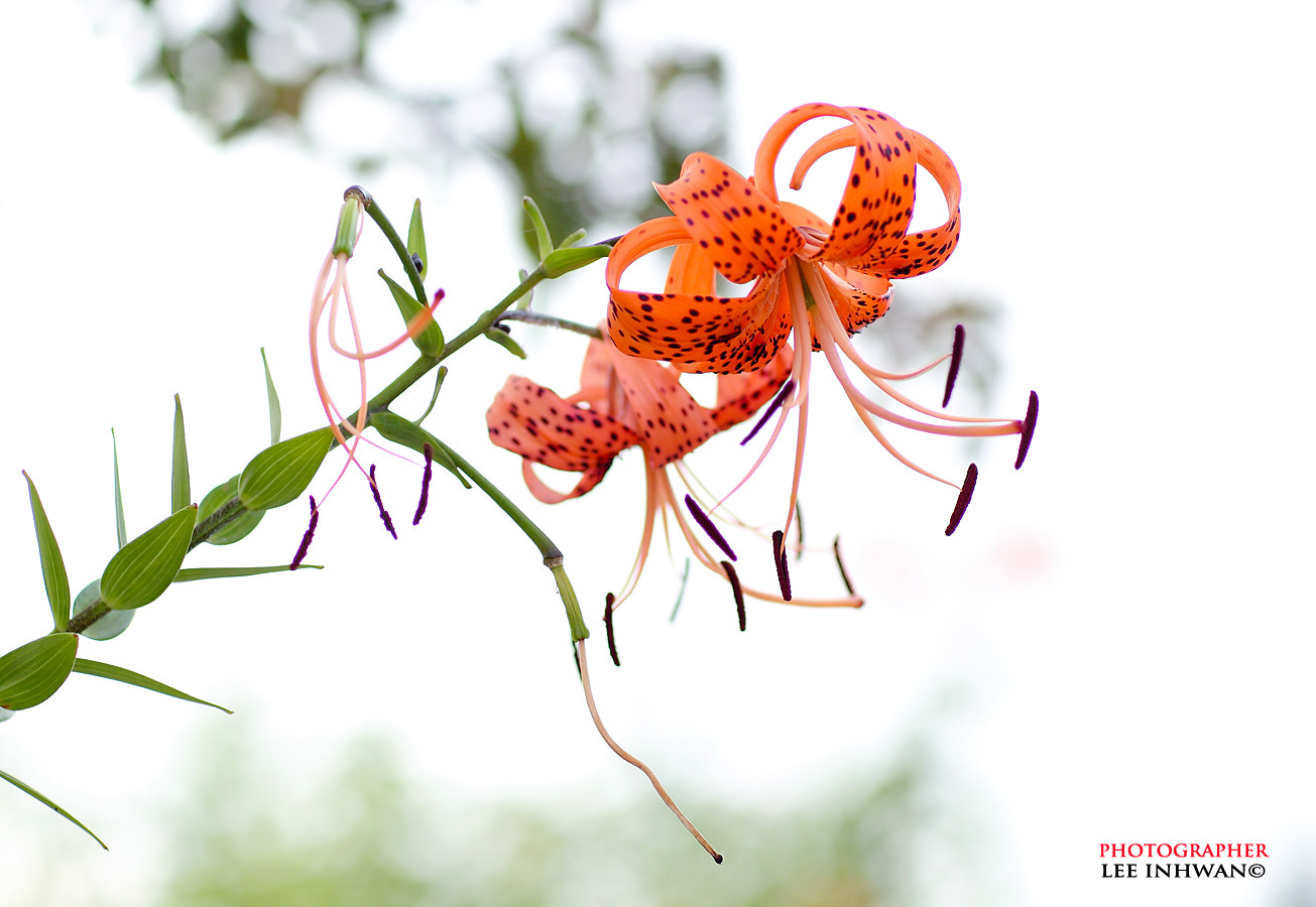 Photograph Tiger lily by LEE INHWAN on 500px