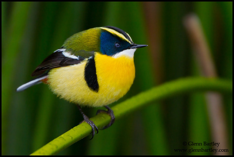 Photograph Many-colored Rush-Tyrant (Tachuris rubrigastra) by Glenn Bartley on 500px