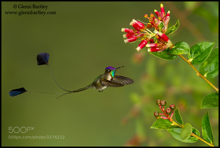 Photograph Marvelous Spatuletail (Loddigesia mirabilis) by Glenn Bartley on 500px