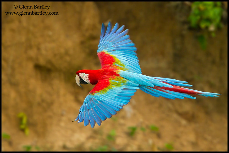Photograph Red-and-green Macaw (Ara chloroptera) by Glenn Bartley on 500px