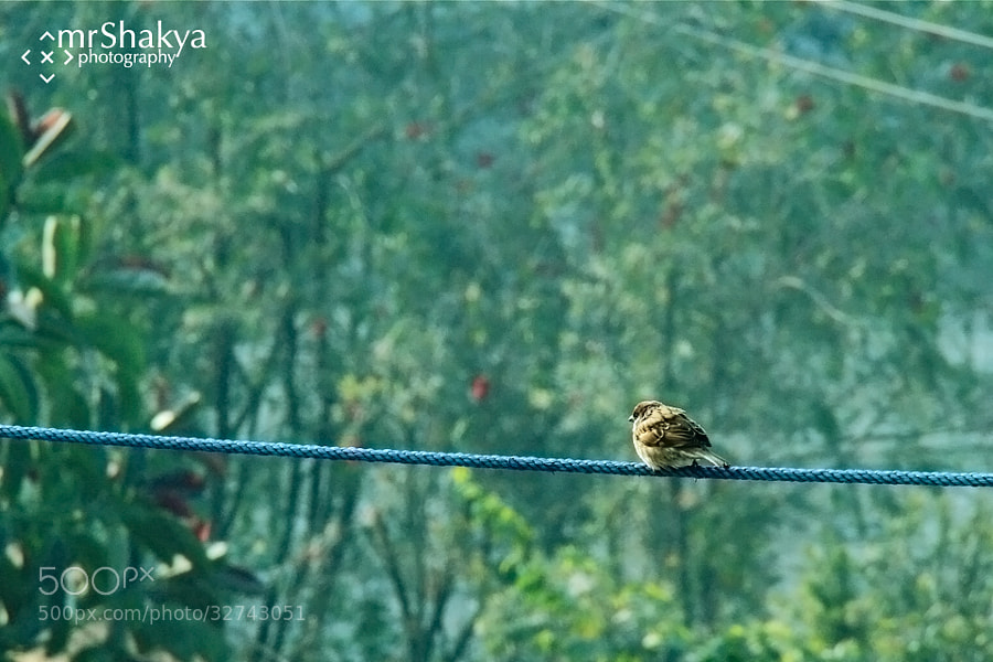 a single sparrow by Manish Shakya (MrShakya)) on 500px.com