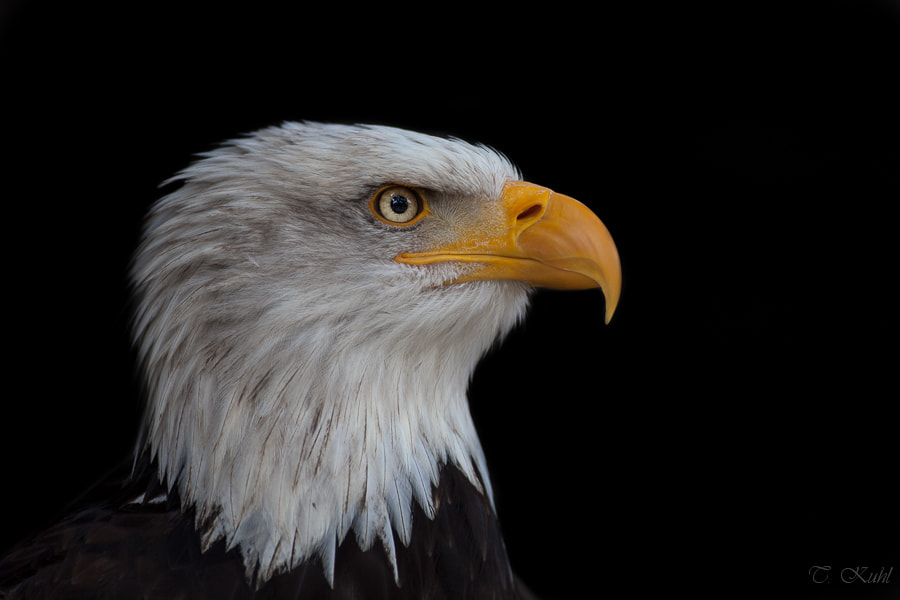 Photograph American eagle portrait by Tobias Kuhl on 500px