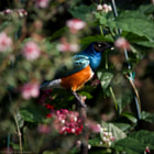 African Superb Starling at the Bloedel Conservatory, Vancouver.