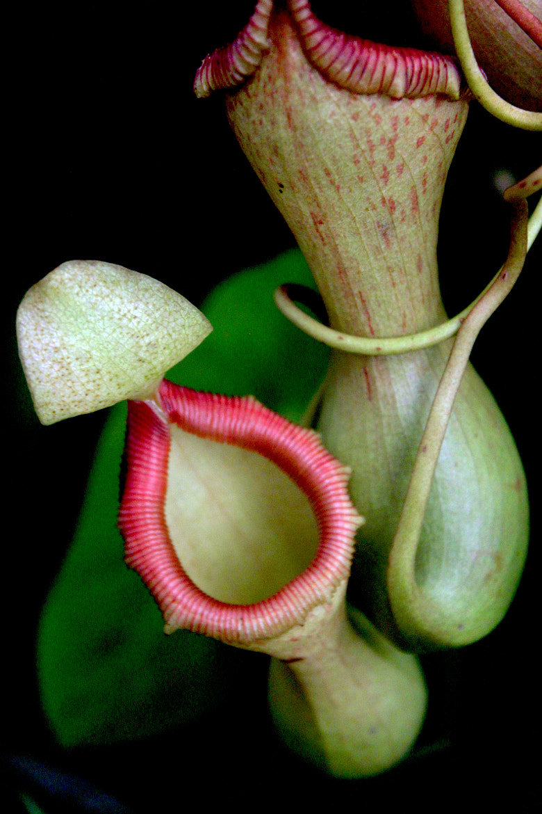 Photograph pitcher plant by bert dennison on 500px