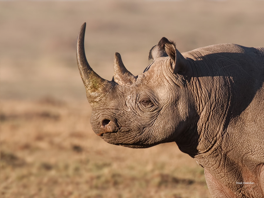 Photograph Black Rhino by Dave Ovenden on 500px