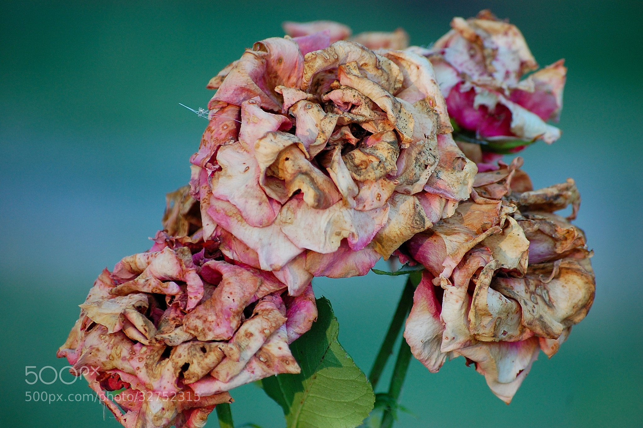 Photograph roses are dying by Andrea Macherelli Bianchini on 500px